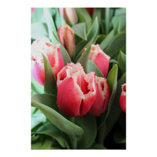 Pink Lacy Tulip Poster