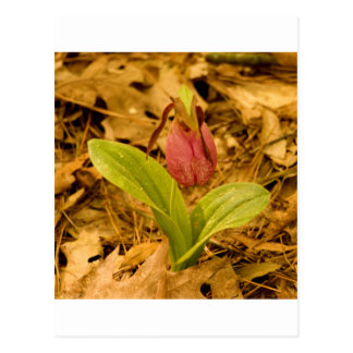 Pink Lady's Slipper Postcard