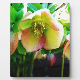 Pink Lenten Rose Photo Plaque