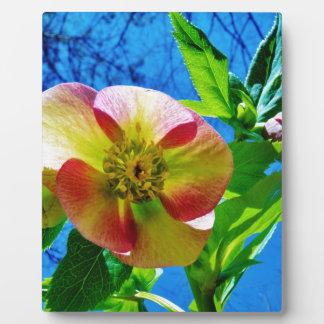 Pink Lenten Rose Plaques