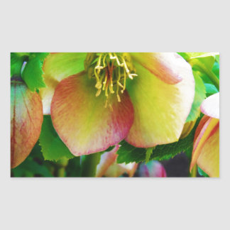 Pink Lenten Rose Rectangle Stickers