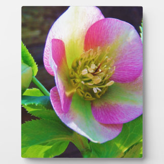 Pink Lenten Rose wildflowers Plaques