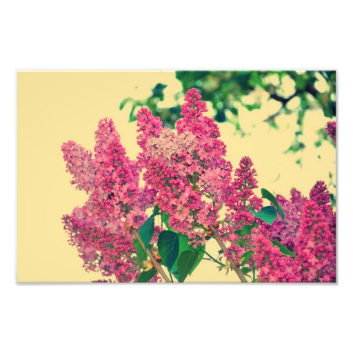Pink lilac photograph