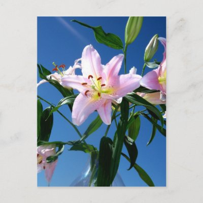 Pink Lilies Postcards by