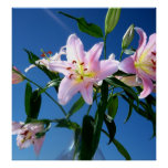 Pink Lilies Posters