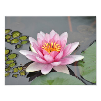 Pink Lilly Photograph