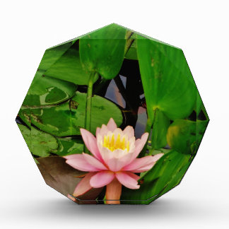 Pink lily lotus water lily flower award