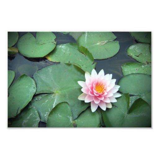 Pink Lily Pad Flower on Pond Photographic Print