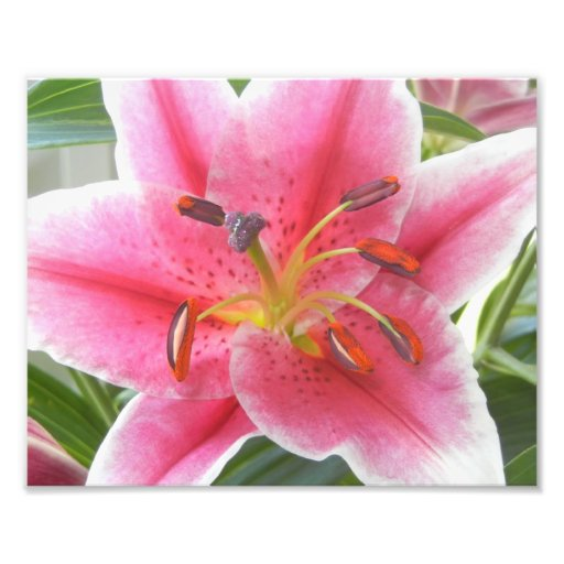 PINK LILY PHOTOGRAPH