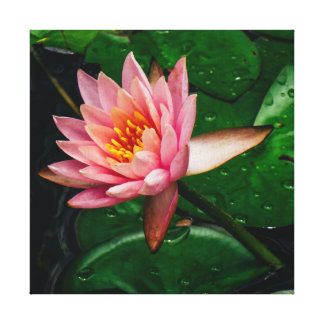 Pink Lilypad Canvas Print