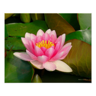 """""""PINK LOTUS BLOSSOM AMID LILY PADS""""/PHOTOGRAPHY POSTER"""