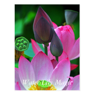 Pink Lotus Blossoms Postcard