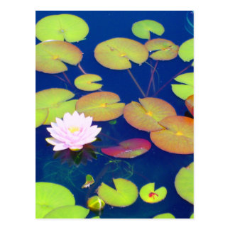 Pink Lotus Flower floating with lily pads on pond Postcard
