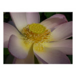 Pink Lotus Flower I Beautiful Peaceful Floral Poster