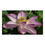 Pink Lotus Flower II Peaceful Floral Poster