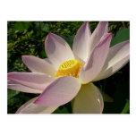 Pink Lotus Flower III Elegant Water Floral Postcard