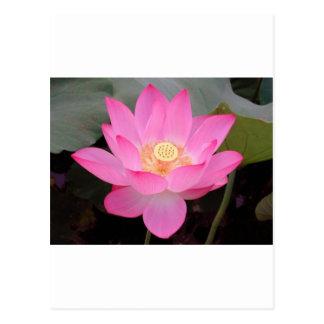Pink Lotus Flower In Bloom Postcard
