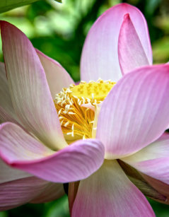 Pink Lotus Flower In Bloom Computer Laptop Tablet Video Game