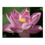 Pink Lotus Flower IV Beautiful Floral Postcard