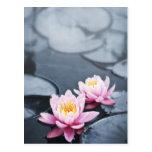 Pink lotus flowers postcard