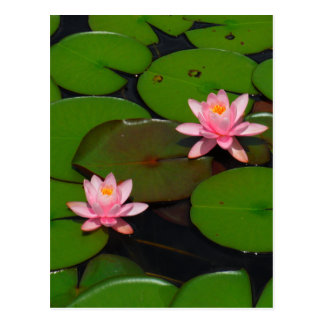 Pink lotus water lily flower  garden, postcard