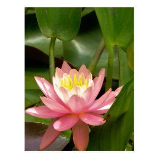 Pink lotus water lily flower postcard