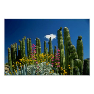 Pink Many plants, Sonoran Desert, Arizona flowers Poster