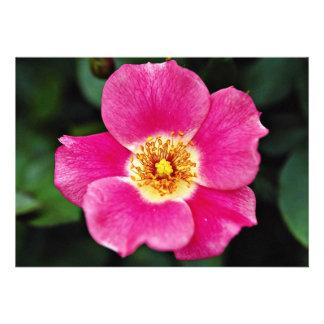 Pink Meidiland tm Shrub Rose Meipoque White fl Invite