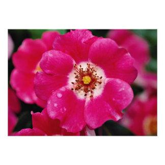 Pink Meidiland tm Shrub Rose Meipoque Yellow f Personalized Invitation