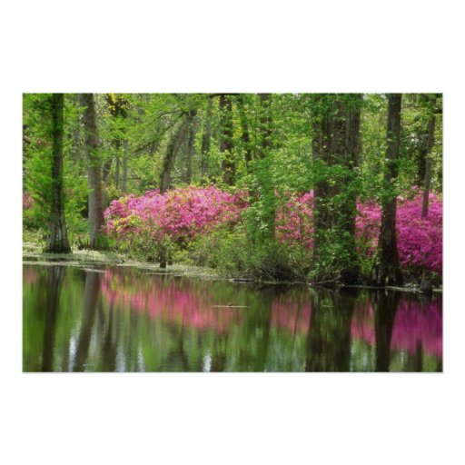 Pink Middleton Place flowers Poster