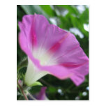 Pink Morning Glory Flower Postcard