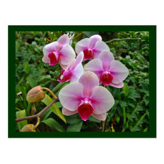 Pink Moth Orchids - Phalaenopsis Post Cards