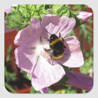 Pink Musk Mallow Flower and bee collecting pollen Square Sticker