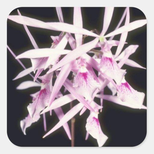 Pink Nemorale, Close Up (Epidendrum) flowers Stickers