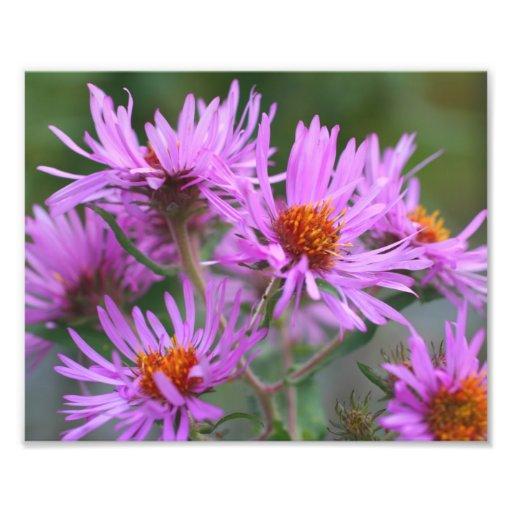 Pink New England Asters 10x8 Macro Flowers Photo Print