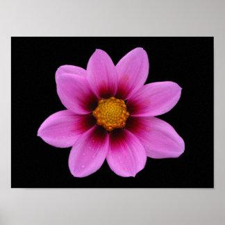Pink Northwest Cosmos Flower Poster