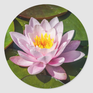 Pink Nuphar Lutea Water Lily Flower in Full Bloom Classic Round Sticker
