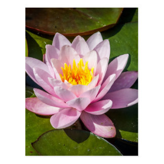 Pink Nuphar Lutea Water Lily Flower in Full Bloom Postcard