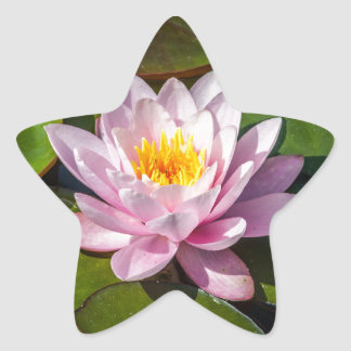Pink Nuphar Lutea Water Lily Flower in full Bloom Star Sticker
