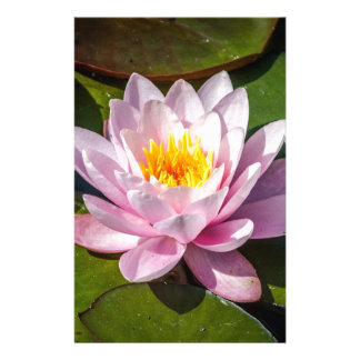 Pink Nuphar Lutea Water Lily Flower in full Bloom Stationery