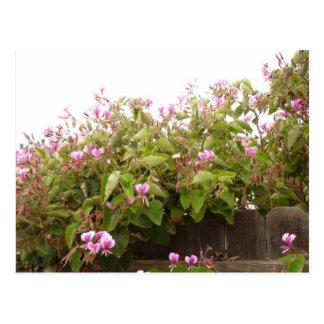 Pink Oleander in California Postcard