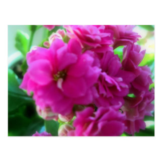 Pink one beauty (Kalanchoe bare field IANA) Postcard