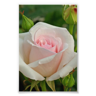 Pink Ophelia Hybrid Rose Photo Print
