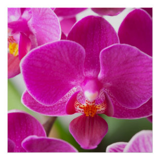 Pink Orchid Flower - Floral Orchids Template Poster