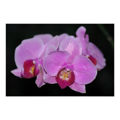 Pink Orchids Poster
