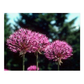 Pink Ornamental Garlic Allium Aflatunense flowe Postcard