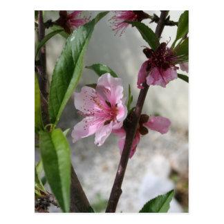 Pink Peach Blossom Postcard