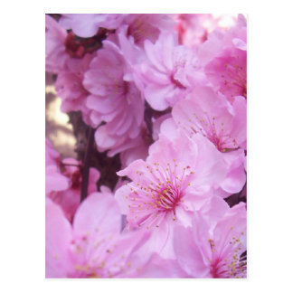 Pink Peach Blossoms Postcard