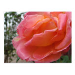 Pink Peach Rose Postcards