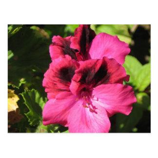 Pink Pelargonium blossom Postcard